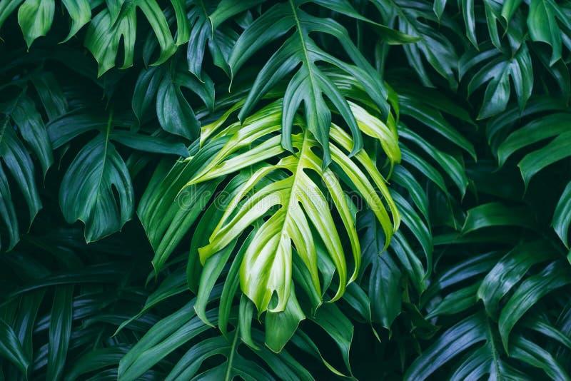 Folhas verdes tropicais, planta da floresta do verão da natureza foto de stock royalty free