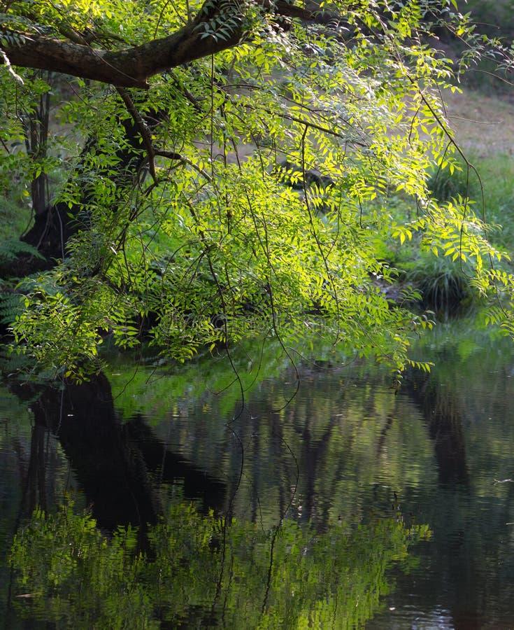 Folhas verdes vívidas perto do rio na manhã fotografia de stock
