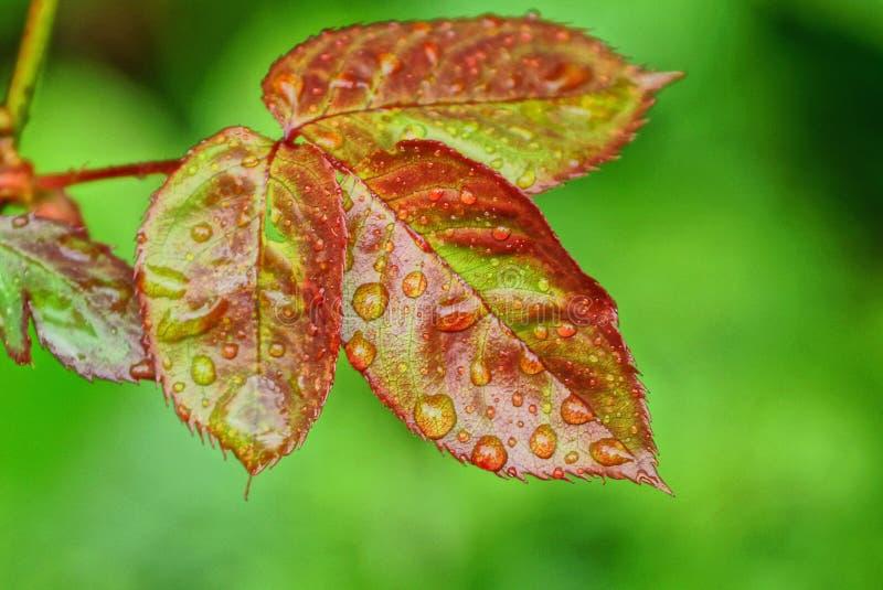 Folhas verdes vermelhas em um rosebush fotografia de stock