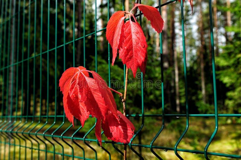 Folhas vermelhas da trepadeira da Virgínia no outono fotografia de stock royalty free