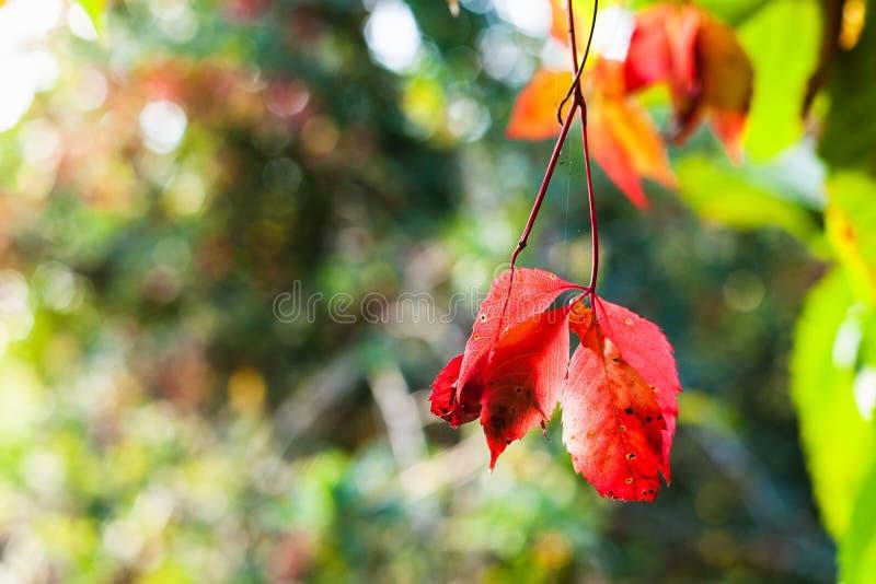 Folhas vermelhas da videira virgem iluminadas pelo sol imagem de stock royalty free