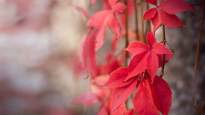 Folhas vermelhas da videira virgem no fundo cinzento da parede imagens de stock
