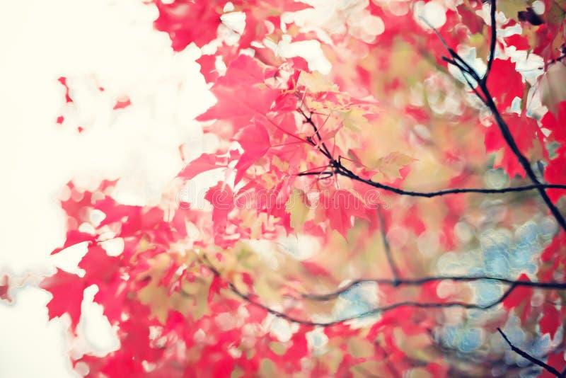 Folhas vermelhas do outono imagem de stock royalty free