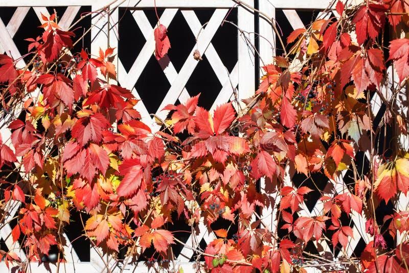 Folhas vermelhas e alaranjadas brilhantes da uva na cerca de madeira branca da grade da estrutura, folha dourada da planta do mon fotografia de stock royalty free