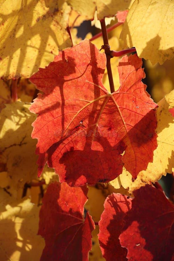 Folhas vermelhas e douradas da videira imagem de stock royalty free