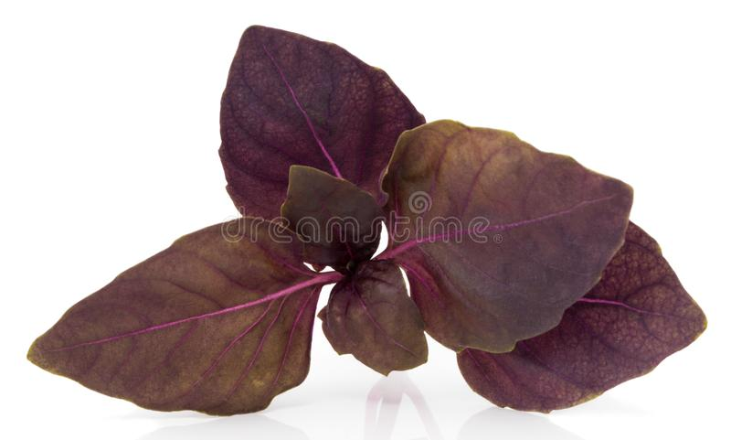 Folhas vermelhas frescas da erva da manjericão isoladas no fundo branco Purpl imagens de stock
