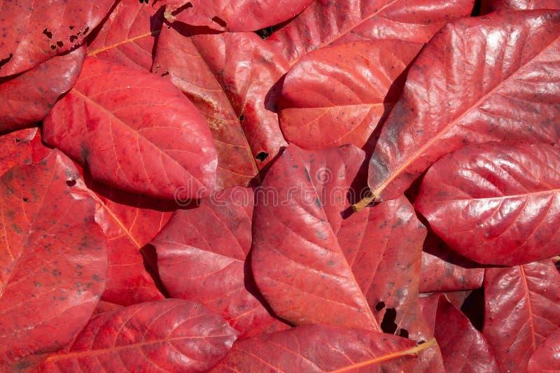 Folhas vermelhas na floresta fal imagens de stock royalty free