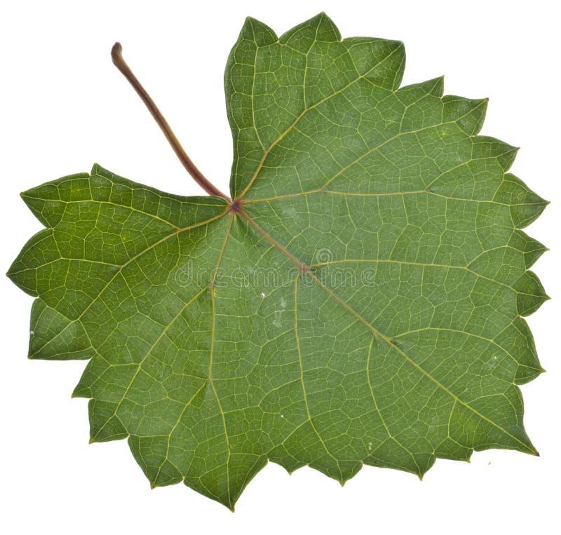 Folhas vibrantes do verde imagem de stock royalty free