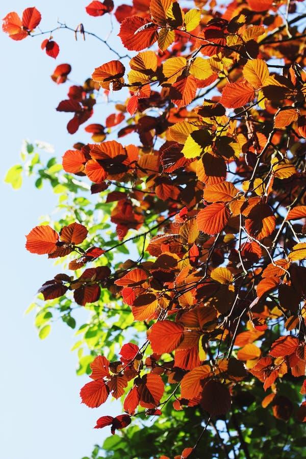 Foliage on alder. Bright burgundy spring foliage on alder, background royalty free stock photos