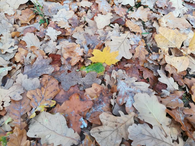 Not all leaves want to wither royalty free stock image
