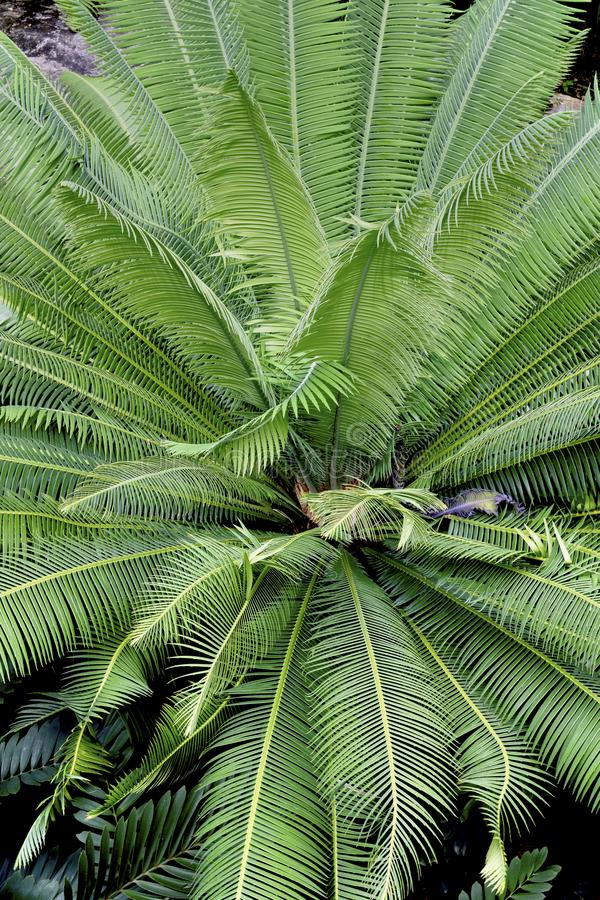Foliage pattern of tropical palm leaves royalty free stock photography
