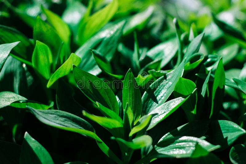 Foliage green leaves background. Tropical texture. stock images