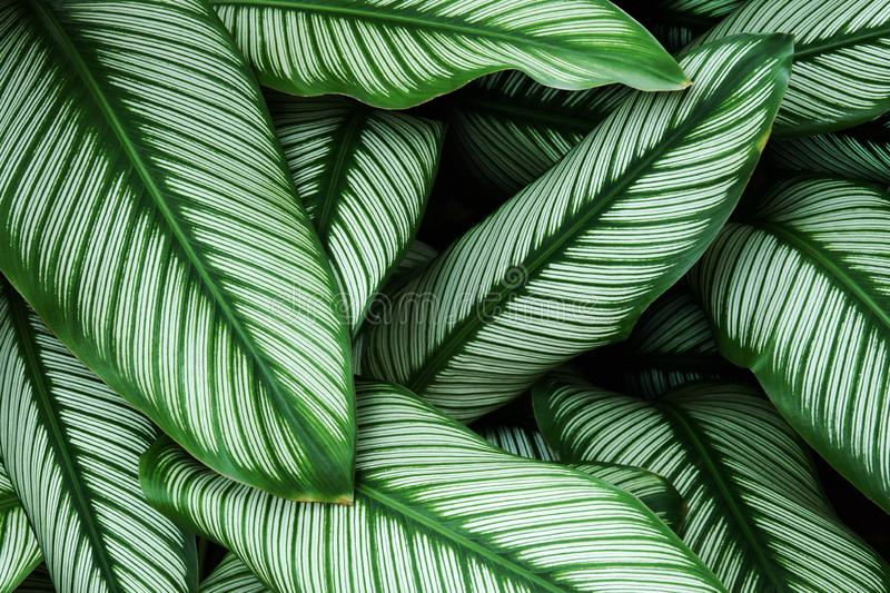 Foliage Green Leaves with White Stripes of Calathea majestica, Zebra Plant as Natural Texture Background royalty free stock images