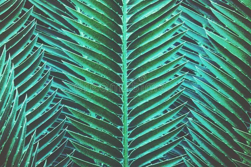 Foliage Leaves of Gum Palm, Dioon spinulosum Dryer, in Dark Blue Green Tone Color as Natural Abstract Pattern Background stock photo