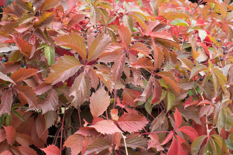 Foliage of Parthenocissus quinquefolia in shades of red. Foliage of Parthenocissus quinquefolia vine in shades of red stock photos