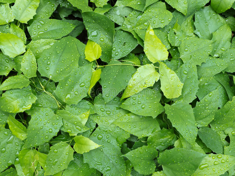 Foliage With Raindrops Background Royalty Free Stock Photography