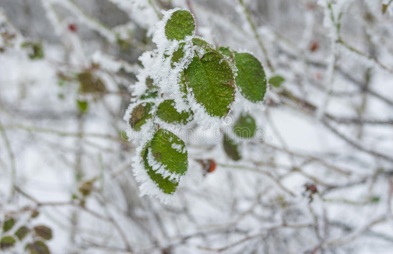 Foliage of rose-canina under hoar frost in winter garden. Green foliage of rose-canina under hoar frost in winter garden stock image