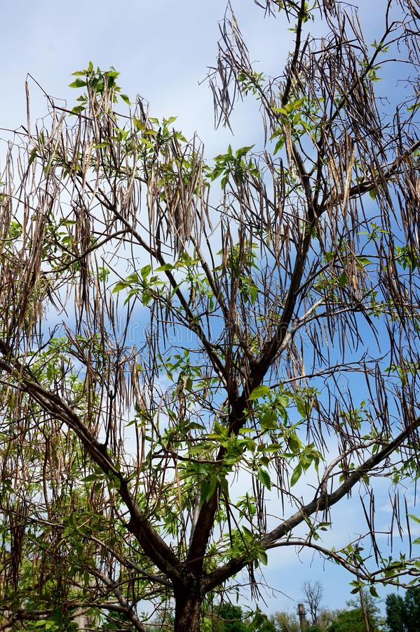 Foliage and tree crown `catalpa` against the blue sky. stock photo