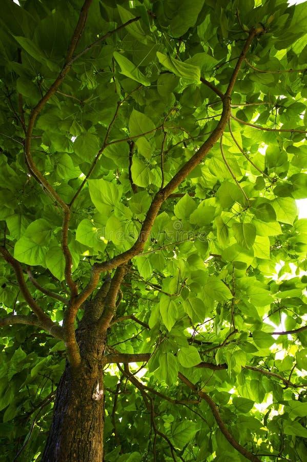 Foliage of a tree royalty free stock image
