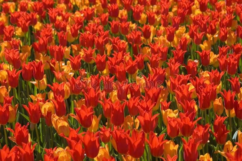 Folie de tulipe photos libres de droits