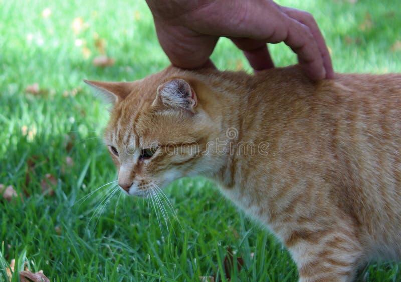 Folk och djur - mänsklig hand som kelar en gullig röd strimmig kattkatt royaltyfri foto