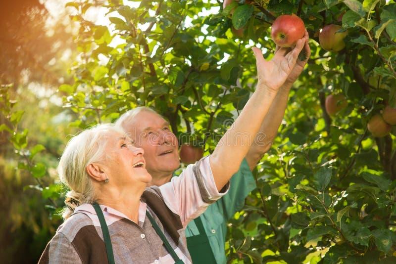 Folk som ler och väljer äpplen royaltyfri bild