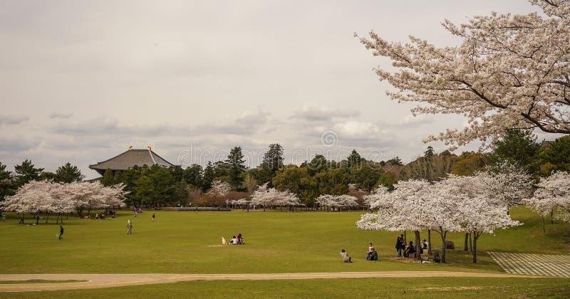 Folket kopplar av på parkera i körsbärsröd blomning royaltyfri bild