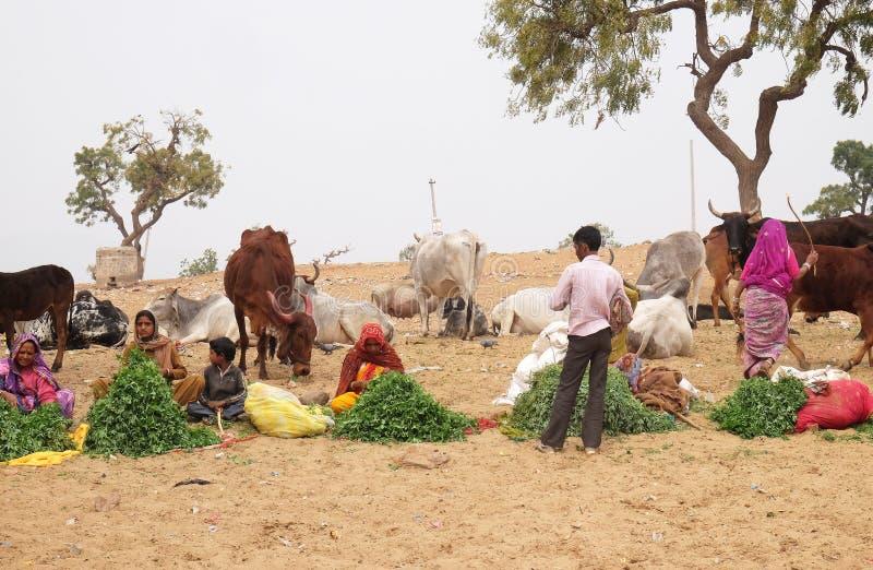 Folket som säljer gräs, förföljer till hinduiska passersby för att dem ska mata till korna, Pushkar, Indien arkivfoton