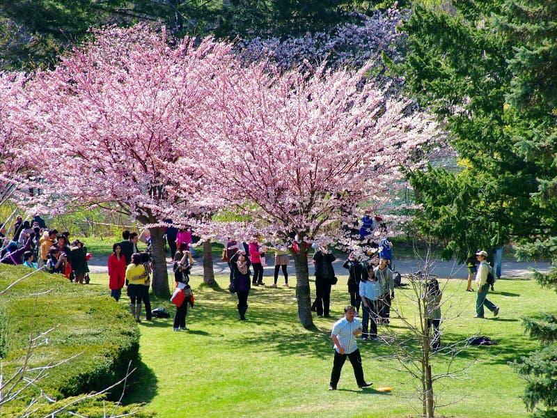 Folket tycker om de körsbärsröda blomningarna för våren på Toronto ` s, parkerar högt royaltyfri fotografi