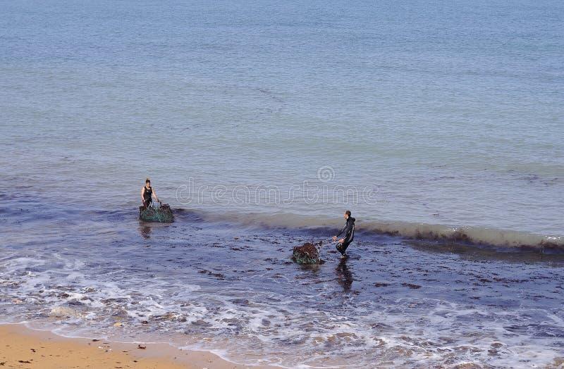Folket väljer upp ätlig havsväxt på en strand arkivfoton