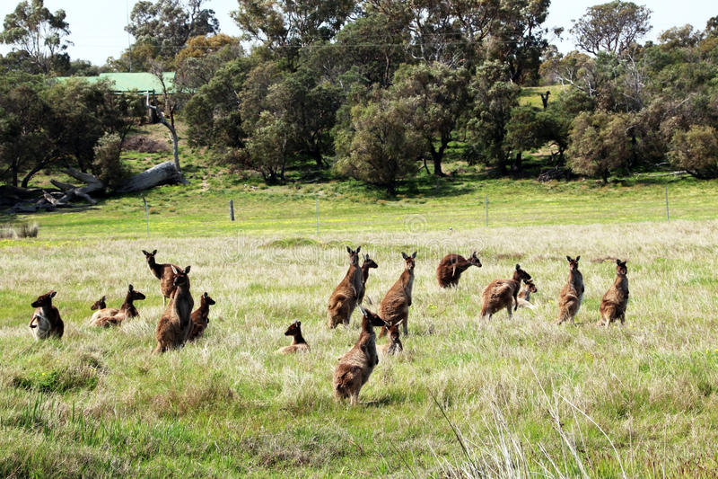 Folkhop av australiensiska Brown kängurur arkivfoton