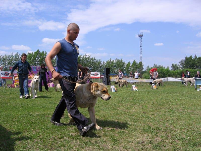 Folkledningshundkapplöpningen på hundshowen i cirkeln i Iskitim Ryssland 2011 ägare visar de bästa aveln av den centrala asiatisk arkivbild