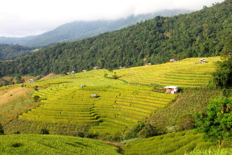 The yellow rice terraces fields. stock images