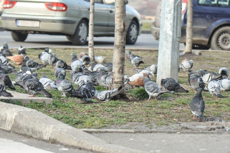 Folla del piccione sulla via fotografia stock libera da diritti