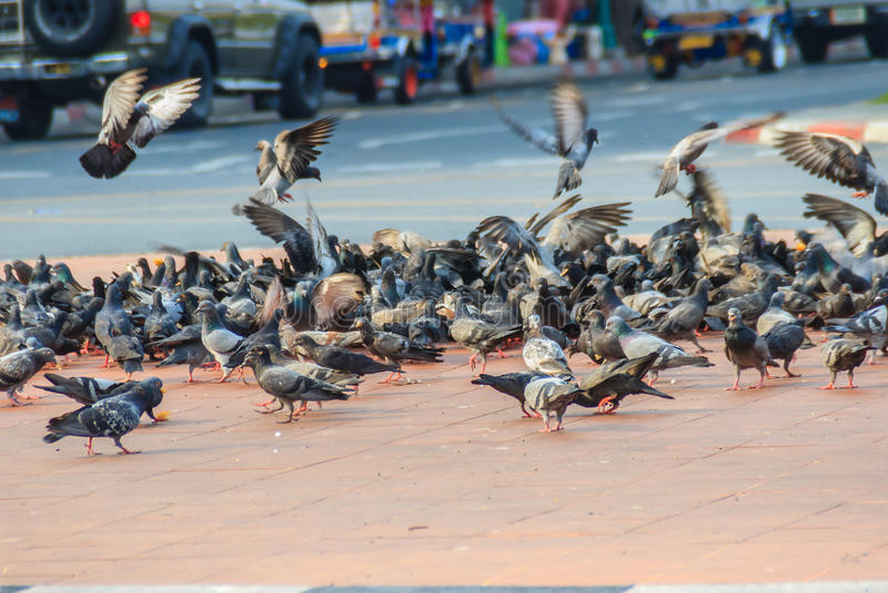 Folla del piccione sulla via di camminata a Bangkok, Tailandia sfuocatura fotografie stock libere da diritti