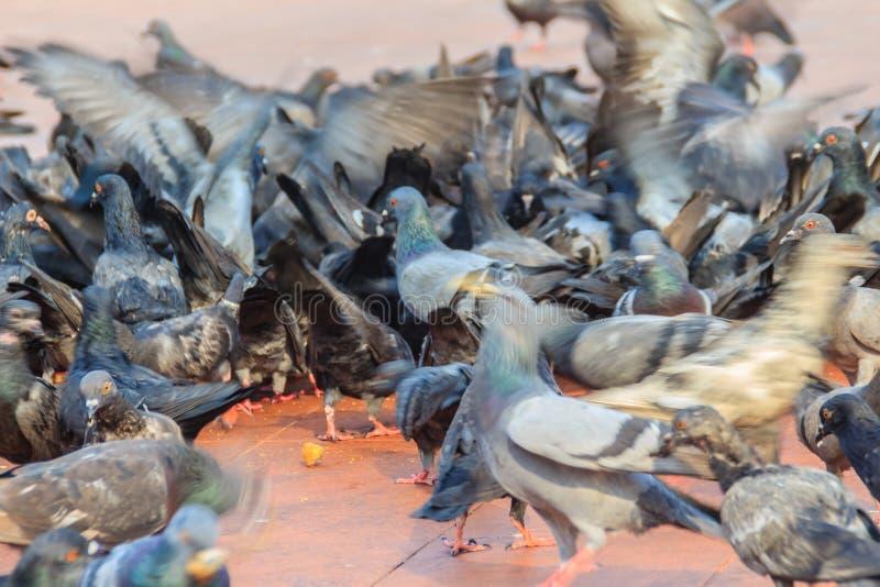 Folla del piccione sulla via di camminata a Bangkok, Tailandia sfuocatura fotografia stock