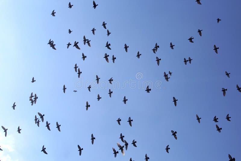 Folla dell'uccello del piccione di volo con cielo blu fotografia stock libera da diritti