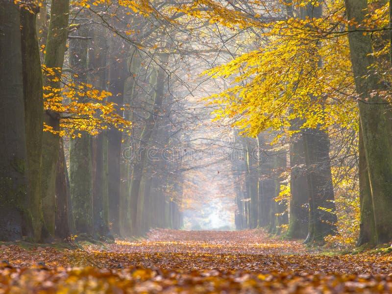 Follaje amarillo de los árboles de abedul durante otoño imagen de archivo