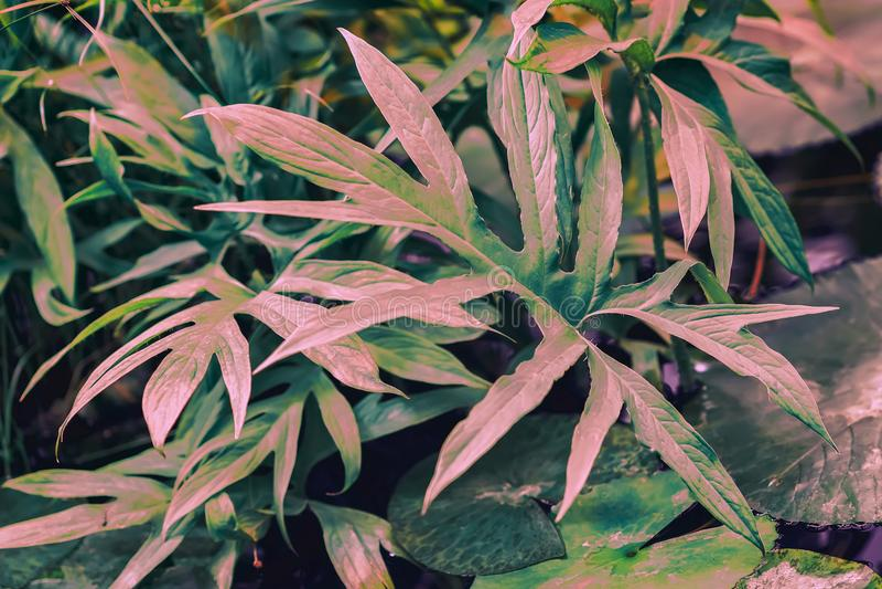 Follaje colorido ornamental, planta tropical con las hojas rosadas Modelo natural, fondo botánico exótico imagen de archivo libre de regalías