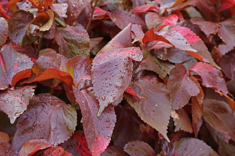 Follaje de cobre rojo de las plantas de Luisiana con las gotitas de agua después de la lluvia fotos de archivo libres de regalías