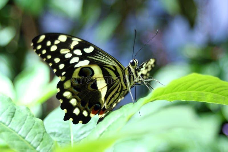 Follaje de la mariposa imagen de archivo