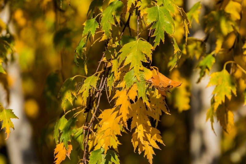 Follaje de oro de Betula del abedul del otoño en el fondo de la falta de definición de árboles Fondo elegante para el otoño foto de archivo