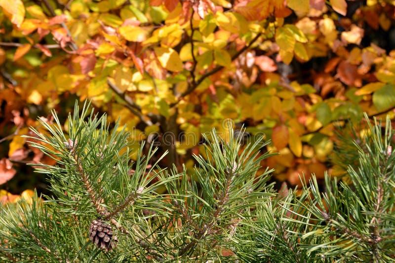Follaje de otoño con la rama del pino foto de archivo