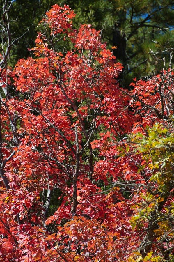 Follaje de otoño en los árboles de arce rojo que muestran apagado a su Autumn Colors imagenes de archivo
