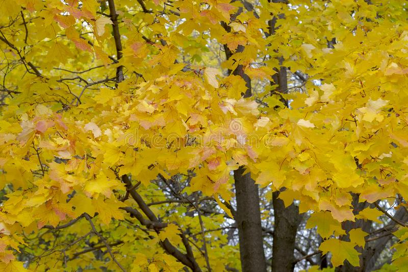 Follaje de oto?o de oro. Árbol de arce amarillo en el parque de entrada foto de archivo libre de regalías