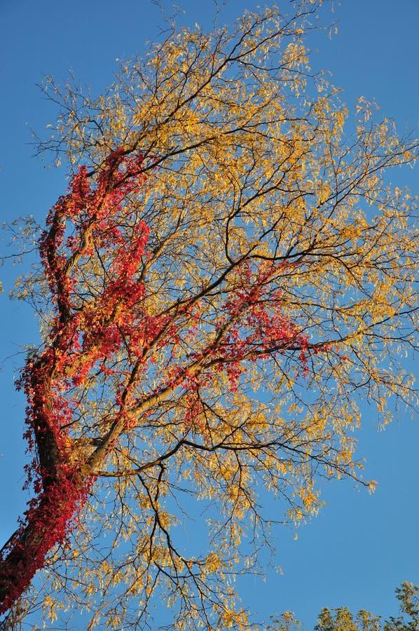 Follaje del otoño: hiedra roja en las hojas amarillas del árbol foto de archivo
