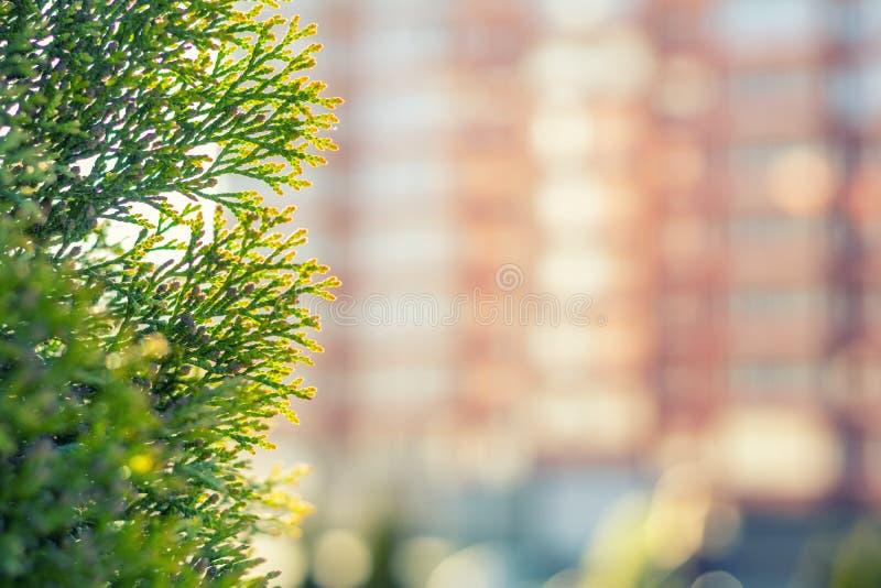 Follaje del Thuja en la luz del sol El edificio de varios pisos está fuera de foto de archivo