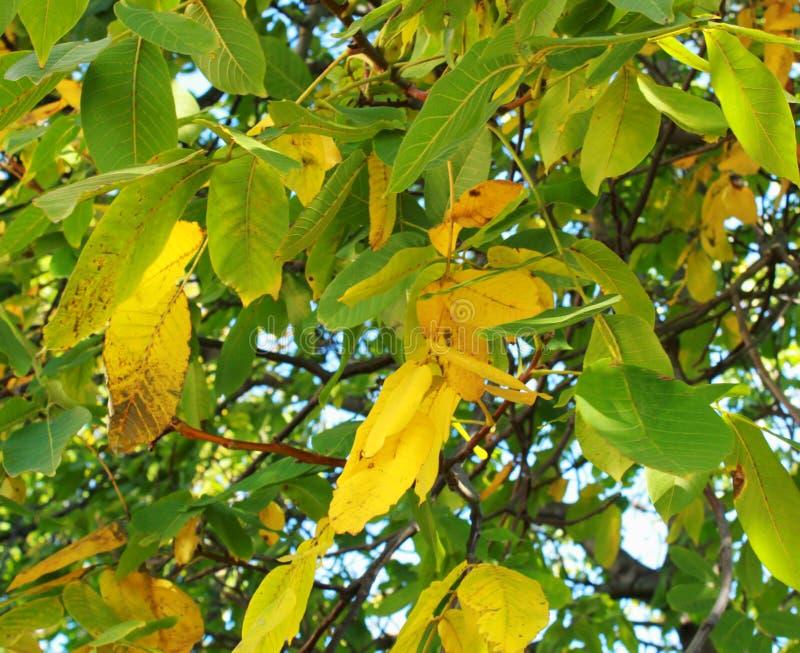 Follaje hermoso del árbol, colores brillantes jugosos - amarillos, verde, naranja, primer de las hojas del árbol, fotografía de archivo