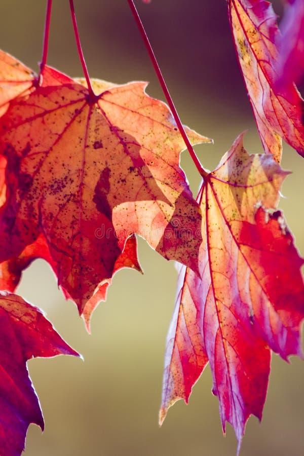 Follaje II del otoño imagen de archivo libre de regalías