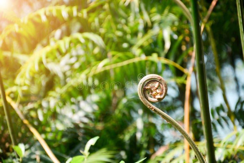 Follaje rizado del helecho en el bosque tropical, la fronda rodada joven de la licencia del helecho, con luz del sol y fondo verd fotos de archivo